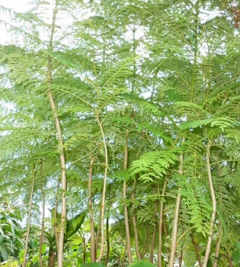 Cây cẩm lai thường mọc ở vùng đồng bằng