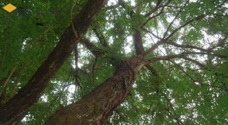 Hình ảnh cây gỗ cẩm lai cao to ưa mát