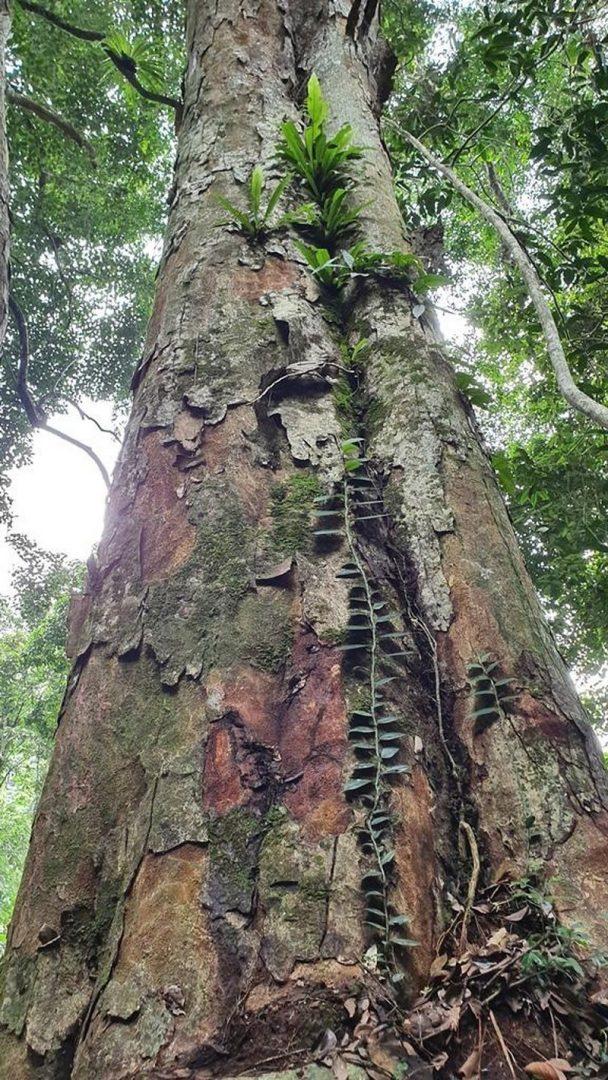 Cây gỗ nghiến nghìn năm tuổi