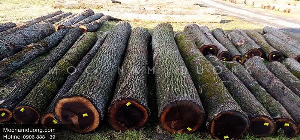 Cây óc chó được khai thác làm gỗ nội thất cao cấp