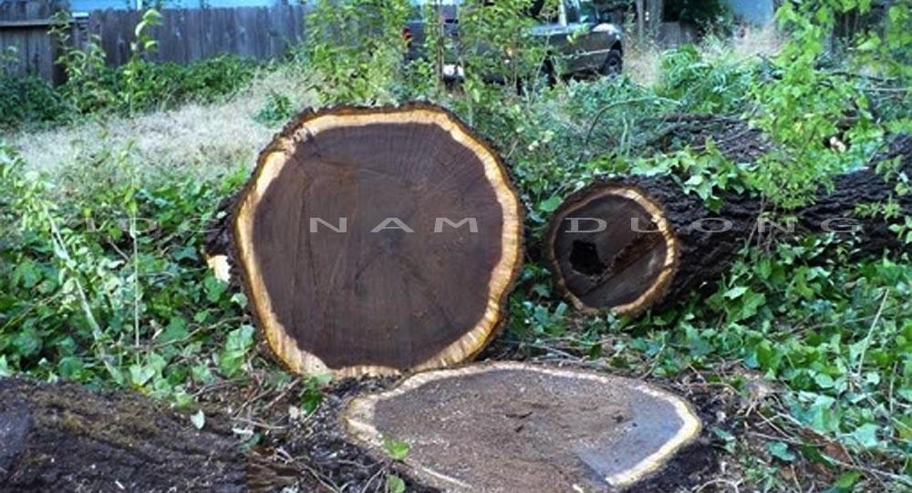 Loại cây óc chó được khai thác làm gỗ
